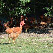 Poulet élevage des Barthes élevés en liberté