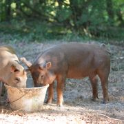 Cochons élevage barthes élevés en liberté