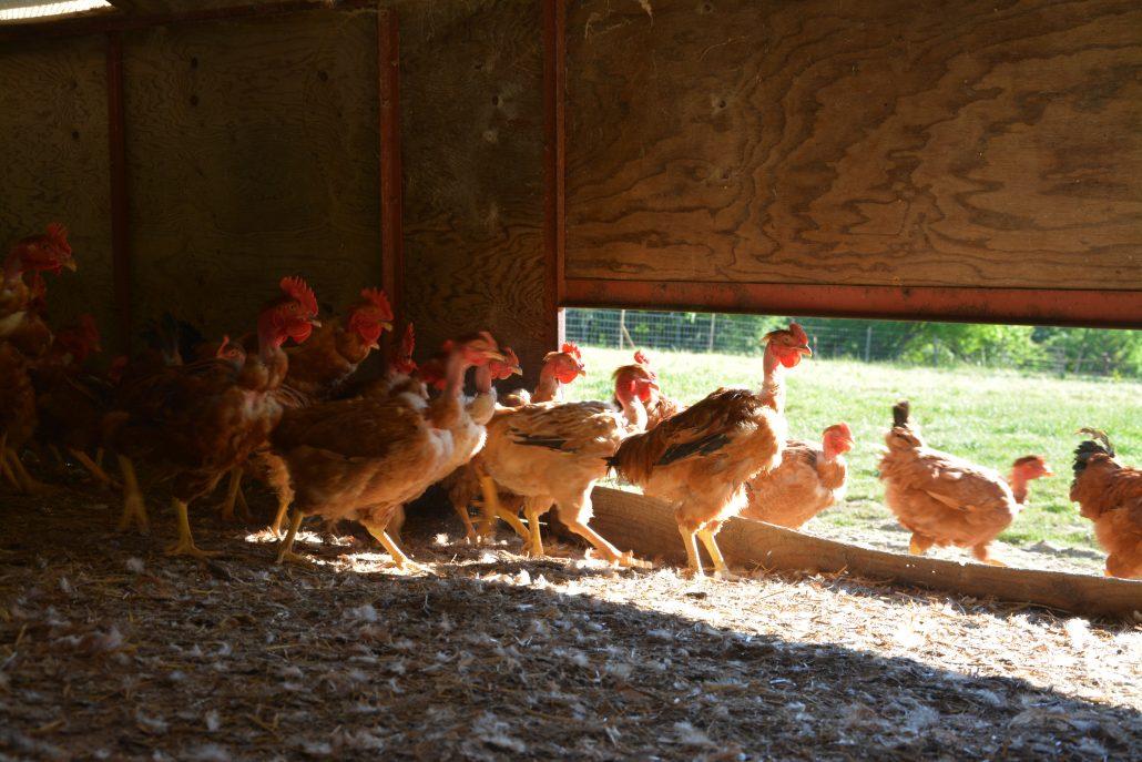 Poulets fermiers élevage des Barthes
