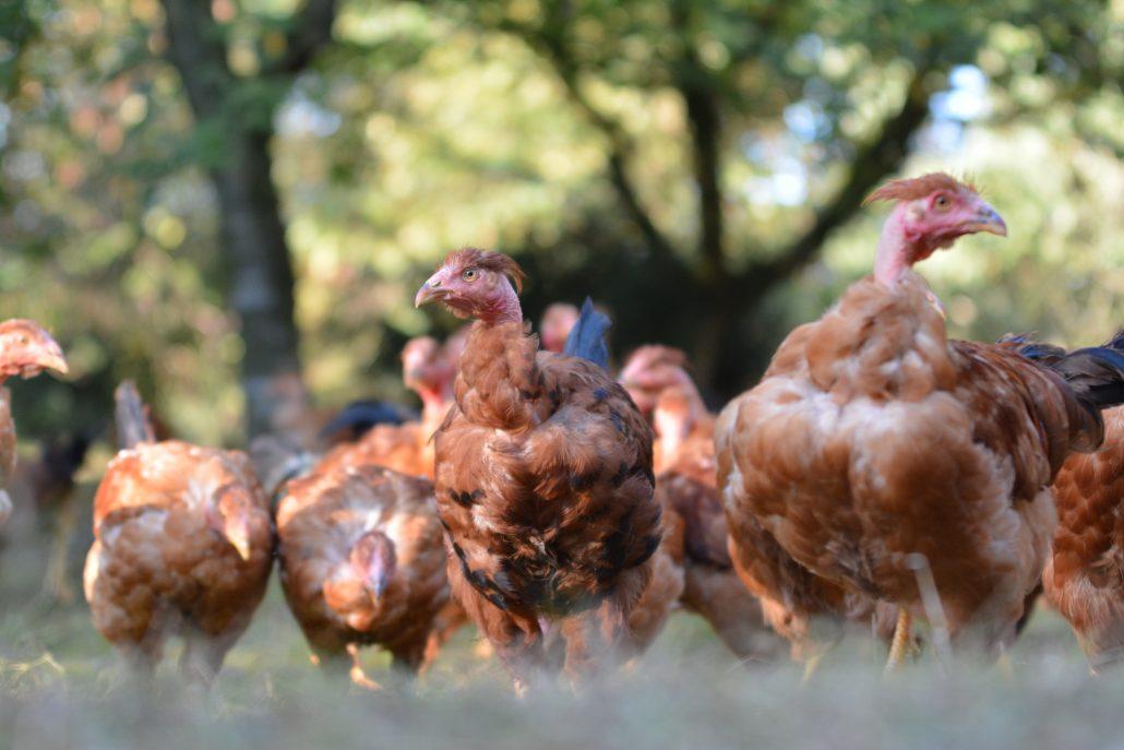 Chapon élevage des barthes élevés en liberté